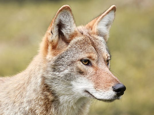 coyote euthanized after sneaking into airport. Black Bedroom Furniture Sets. Home Design Ideas
