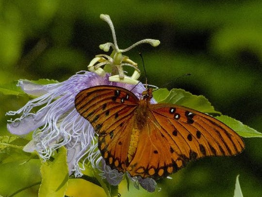 The second annual Butterfly Release at Earl's Hideaway Lounge is Sunday in Sebastian.