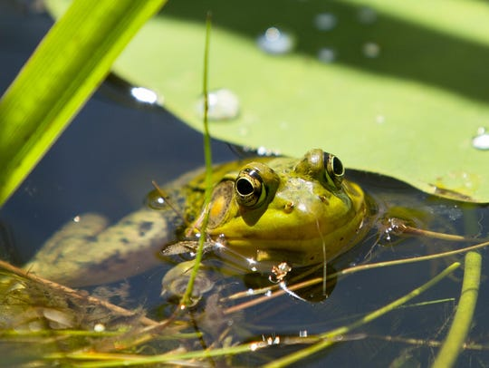 An amphibian watches carefully from the lotus pond