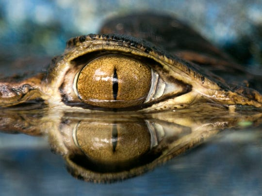 The eye of a juvenile Black Caiman peers over the surface of a pool at the Phoenix Herpetological Sanctuary in Scottsdale.