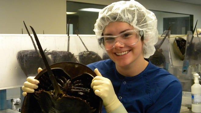 A lab technician holds a horseshoe crab at Associates of Cape Cod, in East Falmouth, which uses blood from the crabs to manufacture limulus amebocyte lysate, a substance that is critical to the detection of impurities in vaccines and surgically implanted devices.