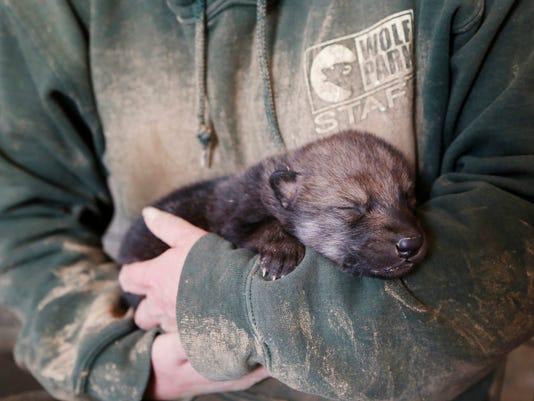 LAF Wolf Park Pups
