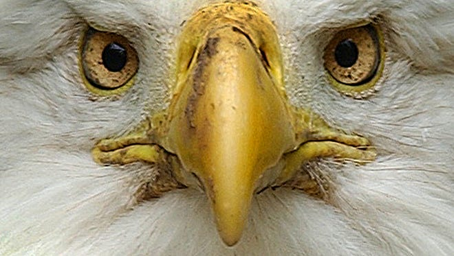 An eagle stares down at visitors to the Salato Wildlife Education Center in Frankfort, Ky.