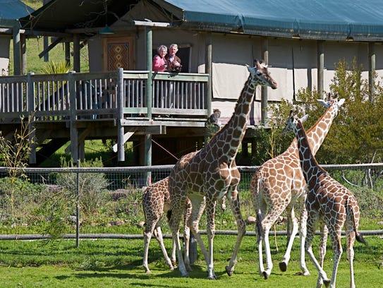 giraffe-tent-people-1-1