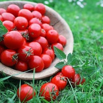 Choose the right tomatoes for your garden
