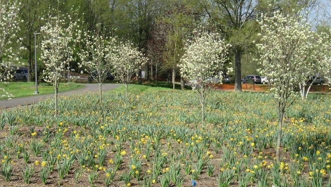 Smaller dogwoods at Lakeshore Park.