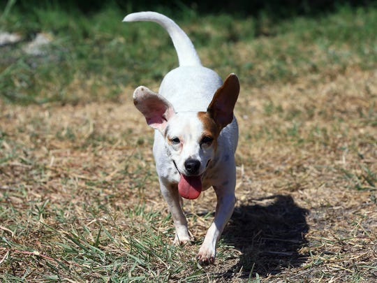 Aria a mixed Dachshund plays Thursday, Aug. 17, 2017, at the Corpus Christi Animal Control in Corpus Christi. Animal control will waive adoption fees this Saturday when someone brings in a pet food donation.