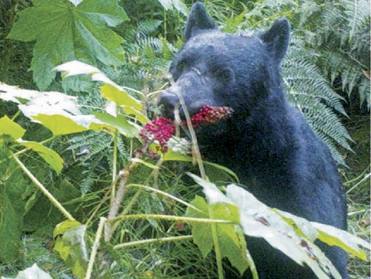 Bears and Berries (4)