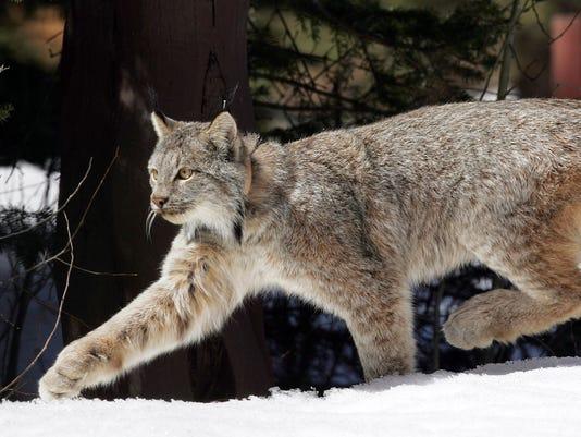 Canada-Lynx-Recovery_Eley.jpg