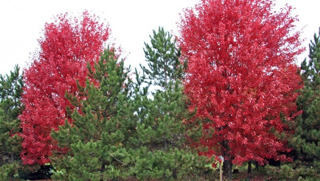 Maple trees provide a blast of color in autumn.
