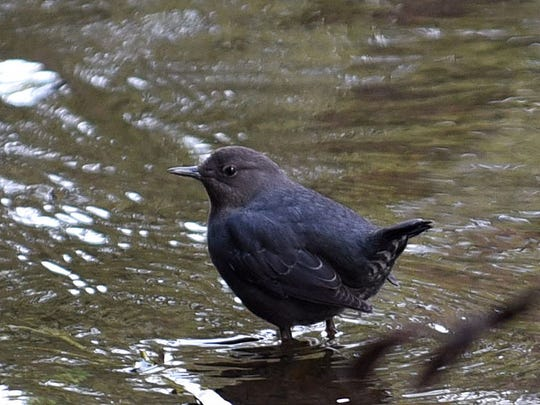 A small dark blue bird is spotted along the Metolius River not far from Wizard Falls Fish Hatchery in the Sisters area.