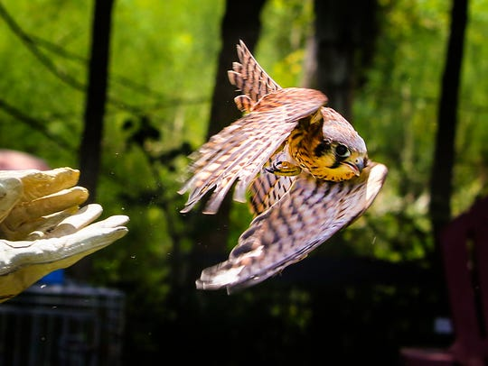A rescued kestrel, a type of falcon, is released back