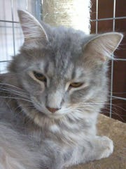 Ricky Ricardo is a 1.5- year-old, domestic longhaired