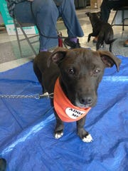 Jackson is a 5-month-old, male Labrador mix. He's very curious, social and affectionate He's neutered and up to date on vet care, and needs extra patience as he's still a learning puppy. Apply with Another Chance Animal Welfare League Adoption Center at www.acawl.org. Call 547-7387.