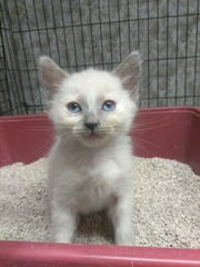 Butters is a 7-week-old Siamese blend. His litter mates include three orange buff tabbies, a dark grey tabby and another Siamese blend. They're very outgoing and brave kittens. Apply with Another Chance Animal Welfare League Adoption Center at www.acawl.org. Call 547-7387.