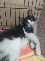 Oreo is a very social, 4-month-old, male kitten. He's very loving and compassionate to other cats. He's very friendly. Apply with Another Chance Animal Welfare League Adoption Center at www.acawl.org. Call 547-7387.