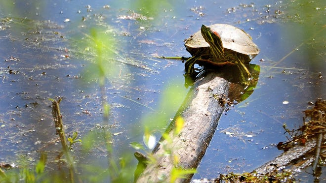 A red-eared slider basks in the sun at Minto-Brown Island Park. The red-eared slider is an invasive species in Oregon.