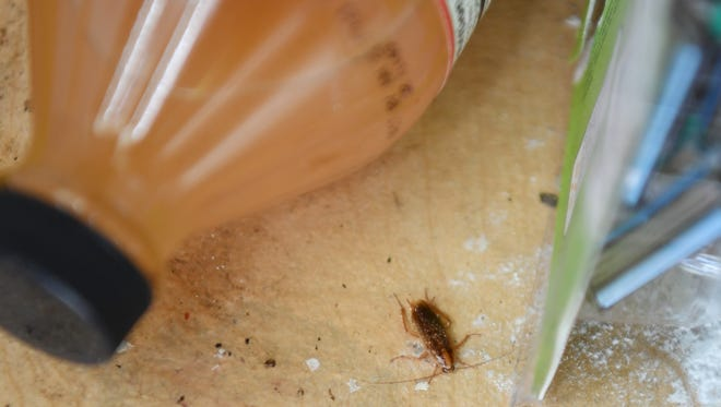 A roach in the apartment of Yanira Cortes, who lives in Pueblo City Apartments. Pueblo City failed its most recent inspection and has been closed in the past for poor living conditions.
