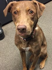Sampson is a beautiful, adult, neutered, male, chocolate