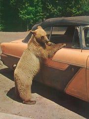 Glacier Gertie, one-bear welcoming committee. This