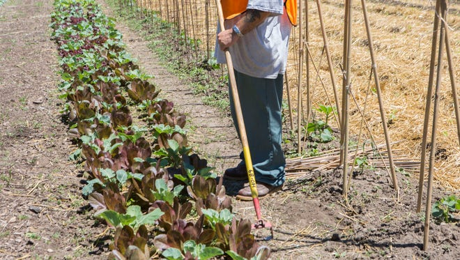 A inmate works on the farms as part of the Horticulture Program at Oak Hill Correctional Institution in Oregon, WI.