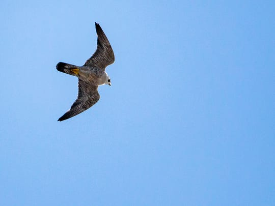 A Peregrin falcon flies over Downtown Wilmington on Thursday afternoon.