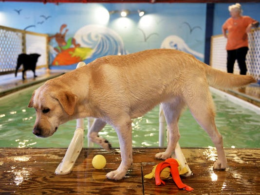 Holly the Labrador Retriever walks around the deck of the 4-foot-deep, heated pool during an hour-long swim session at Morgan's Paws Pet Care Center. (Photo by Chris Dunn)
