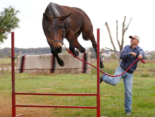 Cool Hand Luke, a 17-year-old mule jumps a bar after