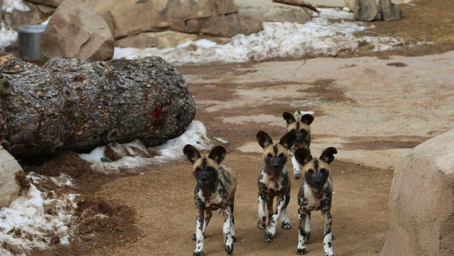 The Denver Zoo has brought out four African wild dog puppies for public viewing. Nigel, Theodore Roosevelt, Livingstone and Cholula were born in November and are healthy, curious and playful.