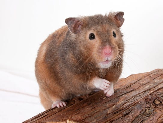 Ice, a 10-month-old male Syrian hamster. No. 92636.
