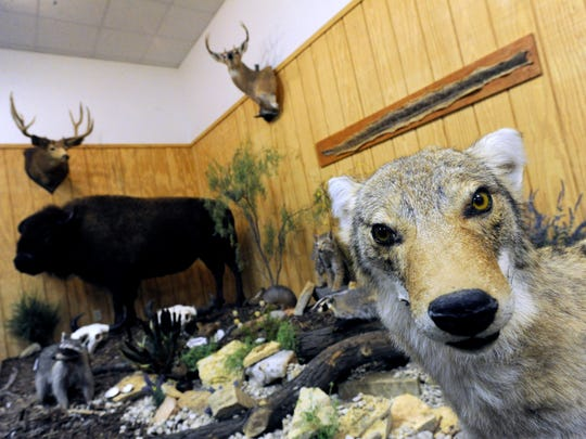 Part of the wildlife display at the Wichita Brazos Museum and Cultural Center in Benjamin, May 4, 2017. This corner of the museum displays mounted examples of wildlife found in Knox County.