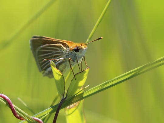 The endangered Powesheik skipperling butterfly rests on a blade of grass.