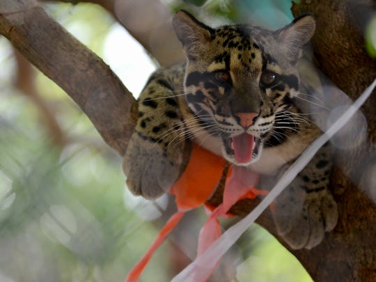 Masala takes his ease high in a tree. The Naples Zoo held a birthday party Saturday, March 25, 2017, for Tikka and Masala, their clouded leopards, as the cubs turn one this month. Enjoying a typical carefree day, the leopards chased each other through the trees before stretching out for a nap. With the species listed as vulnerable, the two will be encouraged to become a breeding pair once they reach maturity in about another year. The two are nearly full size at 40 pounds for Masala, the male, and 28 to 30 pounds for Tikka, the female.