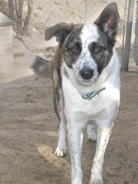 One of the adoptable dogs at the Ruidoso animal shelter of the Humane Society of Lincoln County.