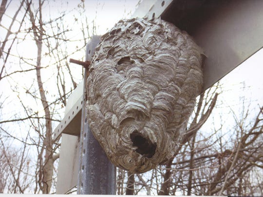 A closer view of the white-faced hornets nest hanging from the Mellenville sign on Route 217 in Columbia County.