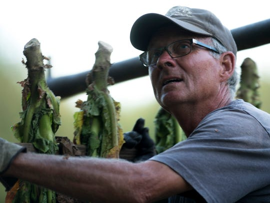 Gary Thurby unloads tobacco for hanging at Thurby Farms