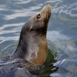 In this Dec. 2, 2013 file photo,  Karen, a blind and aging sea lion, swims while working with a trainer at the Dolphin Research Center, in Grassy Key, in the Florida Keys. The Dolphin Research Center in Marathon offers hands-on training in the care of marine mammals for would-be professional caregivers and trainers.