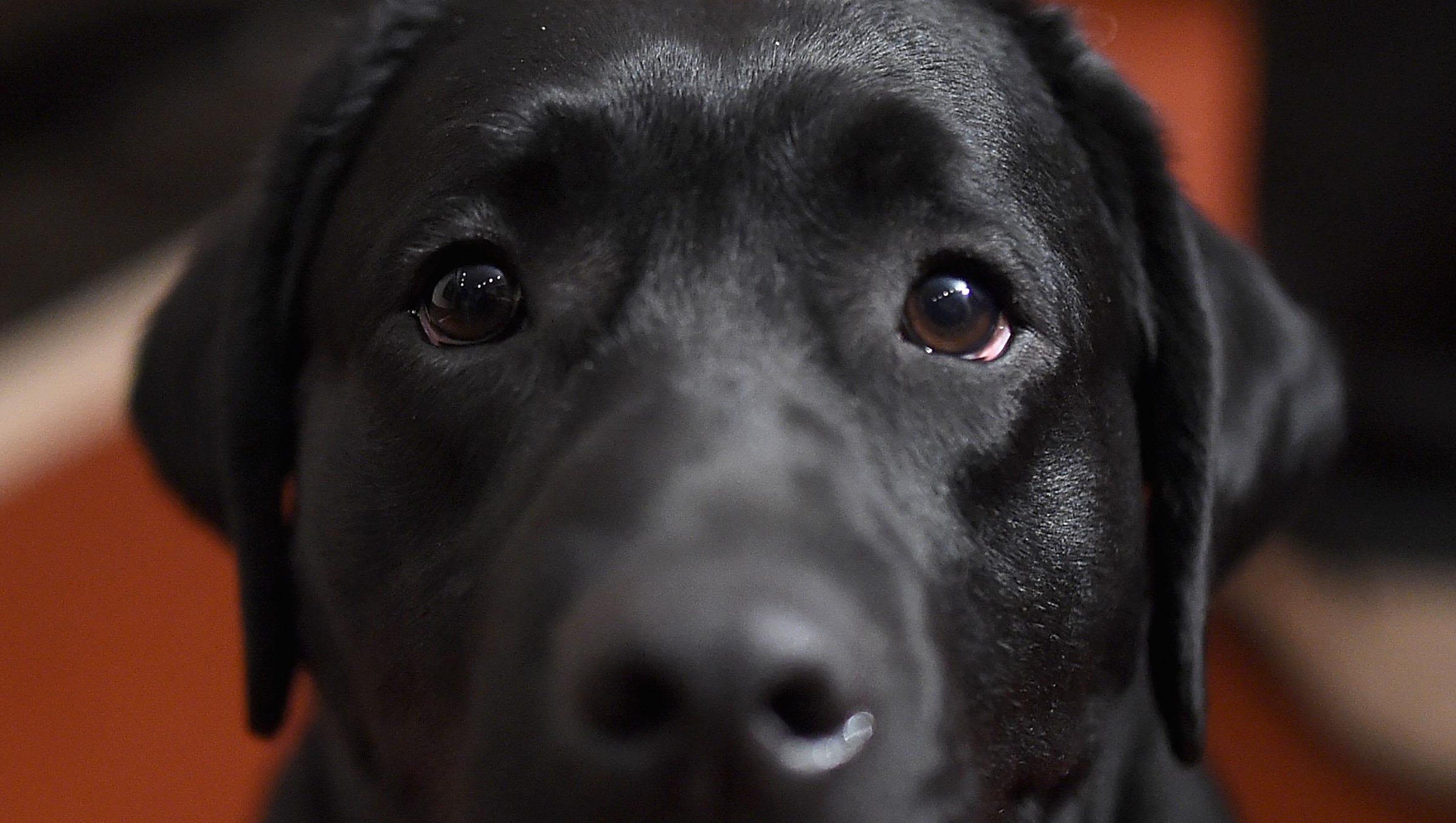 AKC top 10 dog breeds