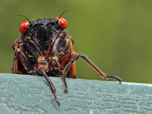 635965909674407565-ODWBrd-06-10-2015-World-1-A001--2015-06-09-IMG-Cicada-photo-1-1-HLB1G592-L625553431-IMG-Cicada-photo-1-1-HLB1G592.jpg
