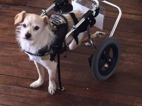 Ginger MacCutcheon's Sadie is a service dog that doesn't let her disability get in the way of helping her veteran. The two come to the Rockaway Township Library on June 17.
