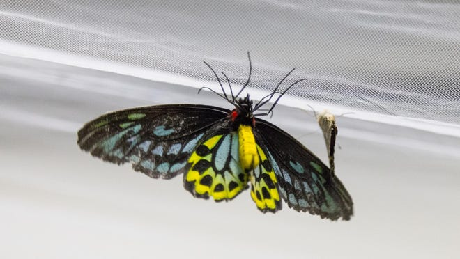 A butterfly rests on the netting hung across the ceiling of Room B108 in Comstock Hall at Cornell University during last year's Insectapalooza.