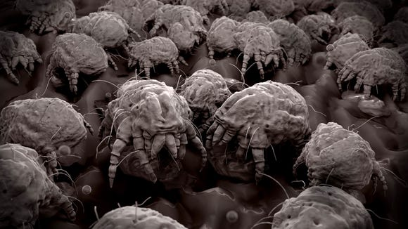 dust mites in pillows