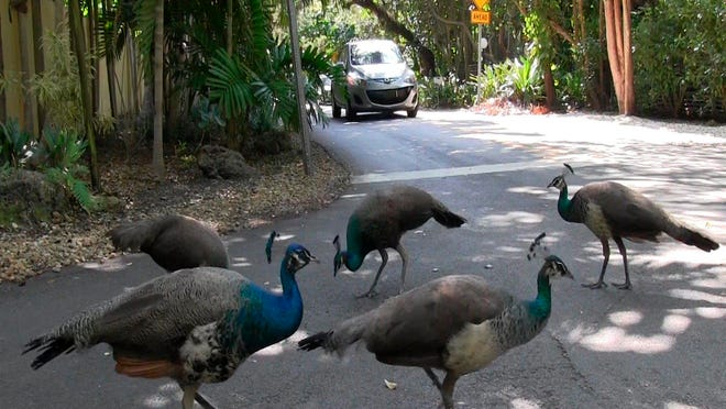 A pack of peacocks mills about at an intersection in the Coconut Grove neighborhood of Miami.