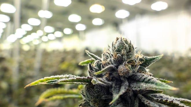 Marijuana plants in a growth facility.