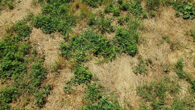 If you want to repair bald spots in your lawn, late August through the first week in October is the optimum time.
