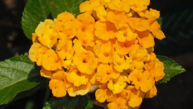 Lantana must have full sun and well-drained soil. This plant loves the heat and looks its best during the hot days of summer.