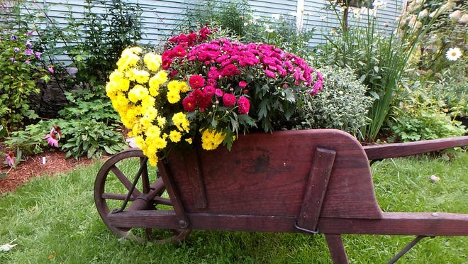 Pots of chrysanthemums add a splash of color in the fall.