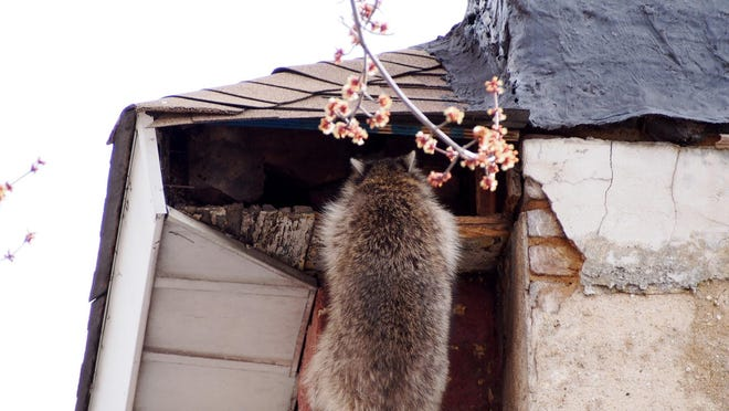 Raccoons are skilled at finding nooks and crannies in your home to hide out.