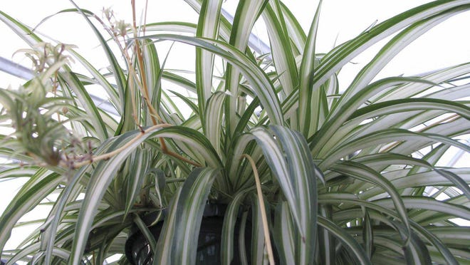Spider plants can become pale and overgrown if not taken care of properly.