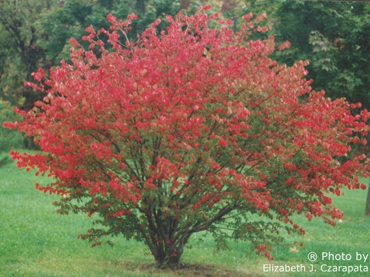 Burning bush has lots of cultivars, and some of them are overly prolific.